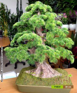 Tùng bonsai 715CV