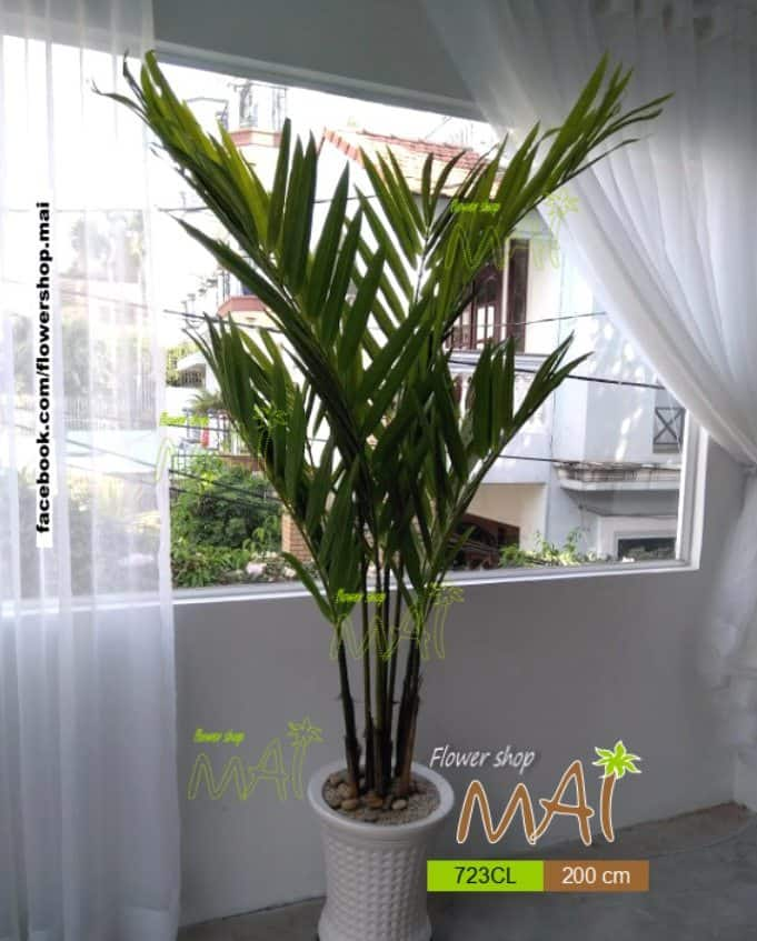 Cây dừa kiểng 723CL