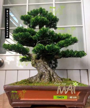 Tùng bonsai 754CV